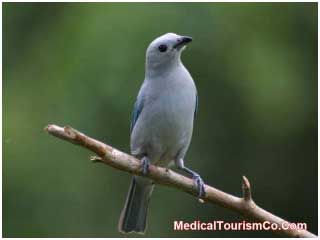 Blue Gray Tanager in Costa Rica