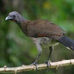 GRAY HEADED CHACHALACA