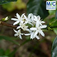 Coffee Flower in Costa Rica
