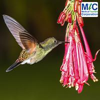 Costa Rican Humming Bird