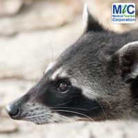 Costa Rica Animal - Coati